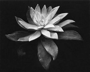 artnet-galleries-succulent-by-edward-weston-from-scott-nichols-gallery-1366578403_b