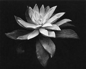 artnet-galleries-succulent-by-edward-weston-from-scott-nichols-gallery-1366578403_b