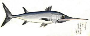 xiphias-gladius-pescespada-di-aldrovandi